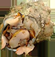 長崎産冷凍サザエ